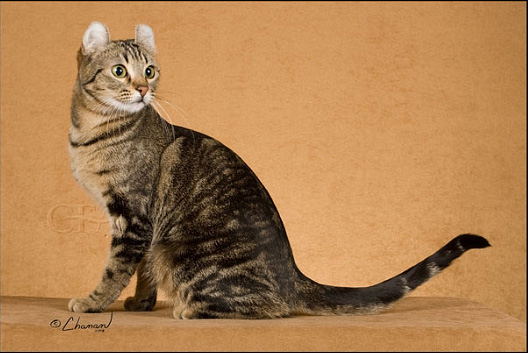 Pictured: Best of Breed Shorthair GC, BW DBCATS THE CURL FROM IMPANEMA, Brown Tabby American Curl Shorthair Female 